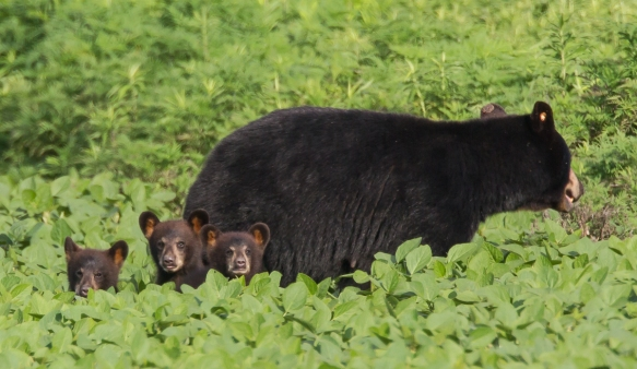 Sow and three cubs