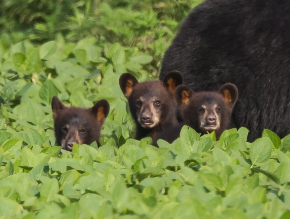 Three cubs close up