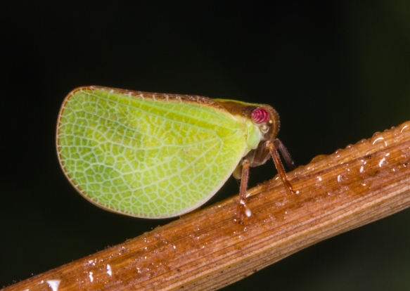 Two-striped Planthopper, Acanalonia bivittata