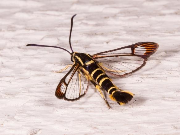 Dogwood Borer Moth 1