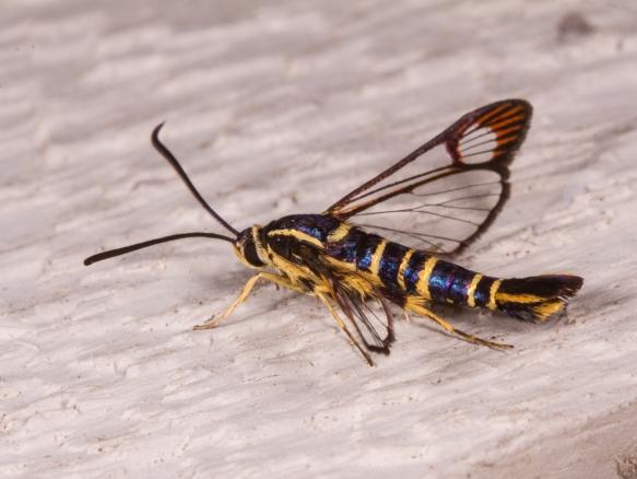 Dogwood Borer Moth 2
