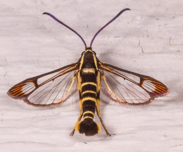 Dogwood Borer Moth