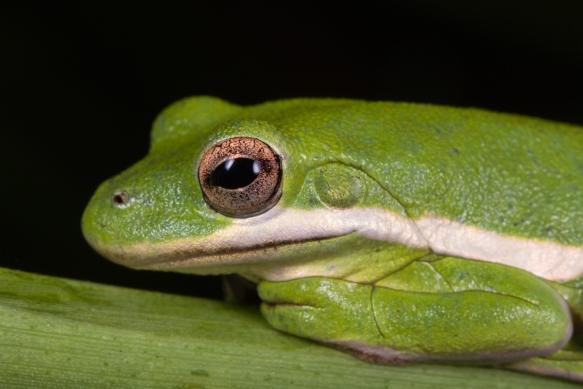 Green treefrog ARNWR closeup