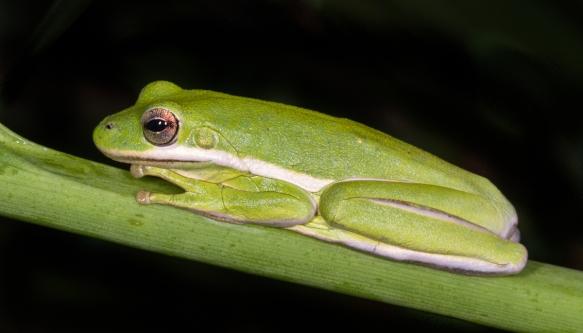 Green treefrog ARNWR