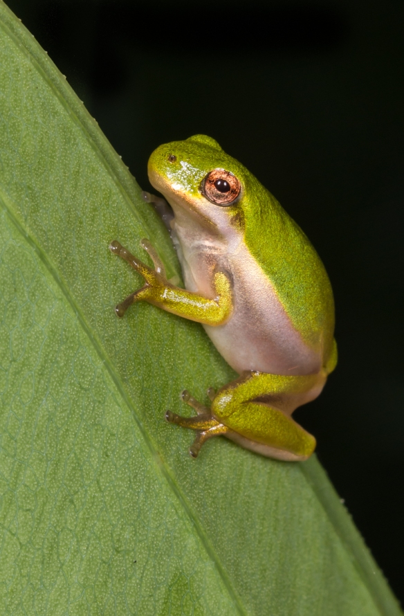 Green treefrog juvenile