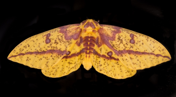 Imperial Moth female