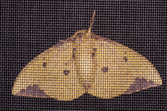 imperial Moth, male, underside