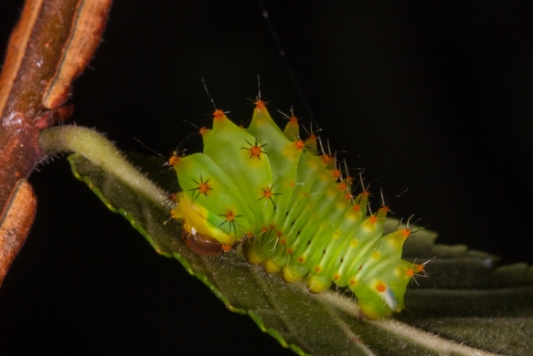 Polyphemus larva - early instar 2
