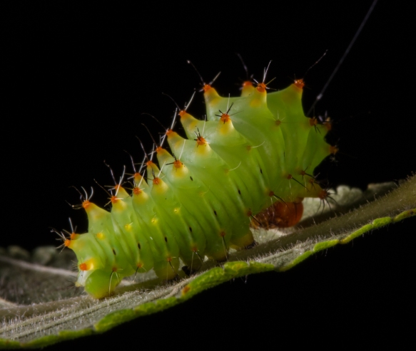 Polyphemus larva early instar 3