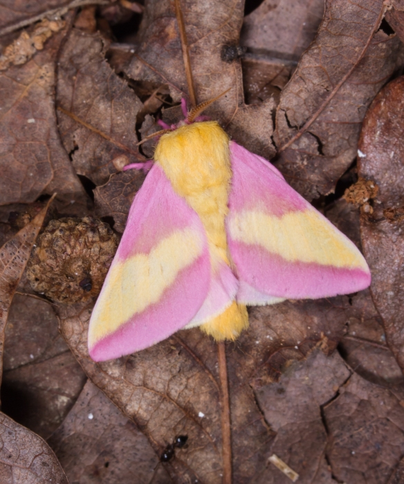 Rosy Maple Moth on ground