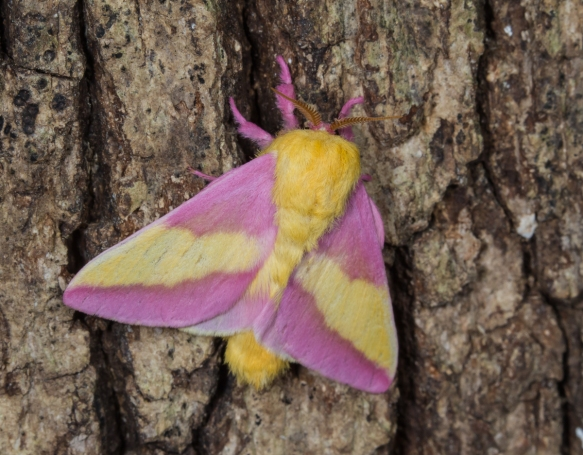 Rosy Maple Moth on tree