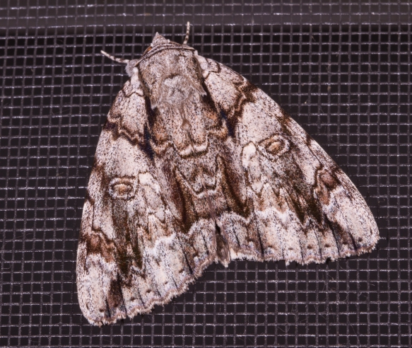 WIDOW UNDERWING