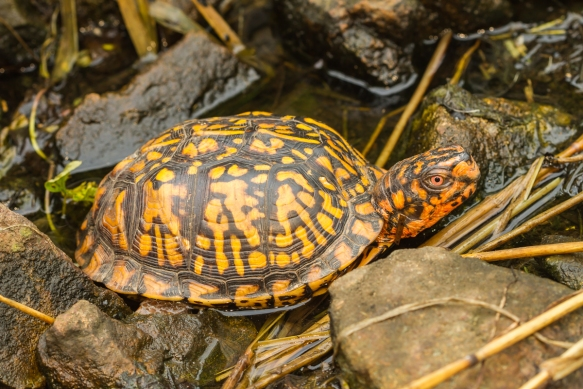 box turtle from side 1