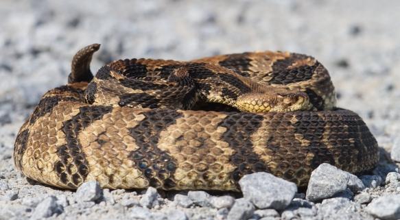 Canebrake Rattlesnake adult 2