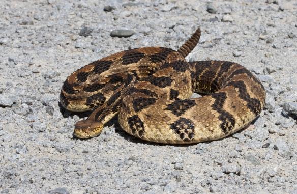 Canebrake Rattlesnake adult defensive posture 1