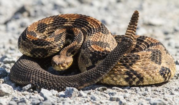 Canebrake Rattlesnake adult