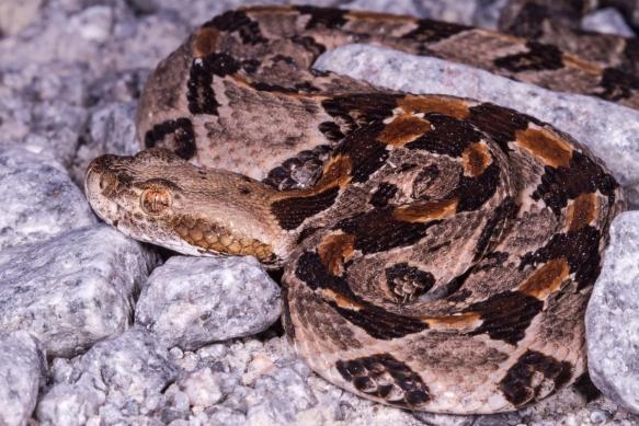 Canebrake Rattlesnake juvenile 1