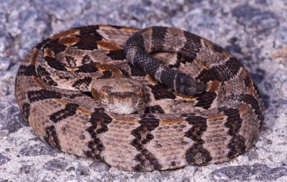 Canebrake Rattlesnake juvenile 2
