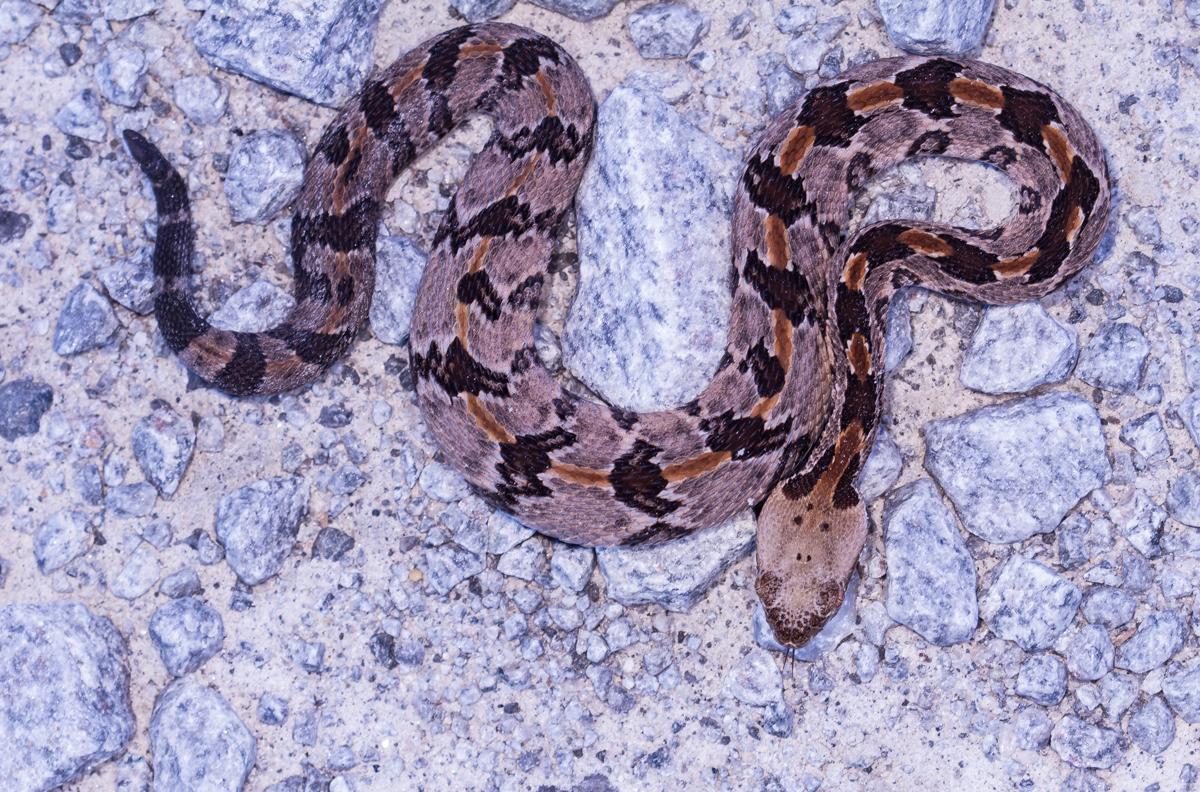 Canebrake Rattlesnake Roads End Naturalist