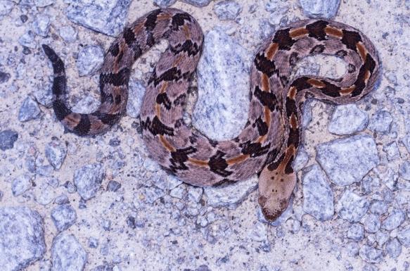 Canebrake Rattlesnake juvenile