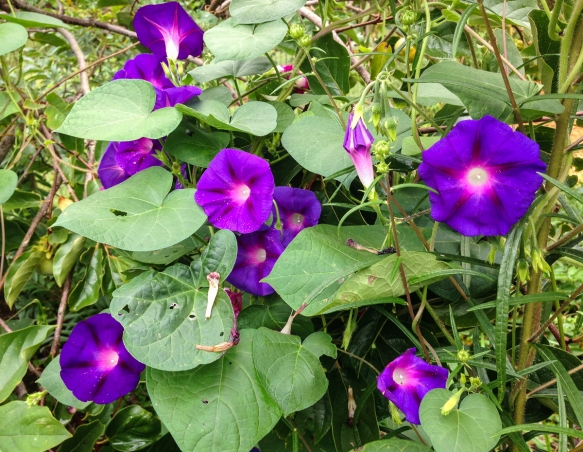 Common Morning Glories