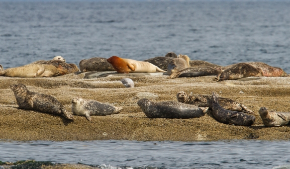 Harbor Seals hauled out on rock 1