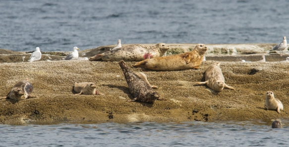 Harbor Seals hauled out on rock