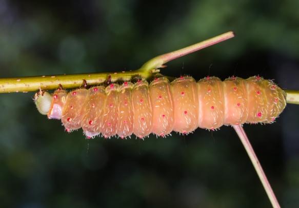 Luna Moth larva changing color prior to pupation