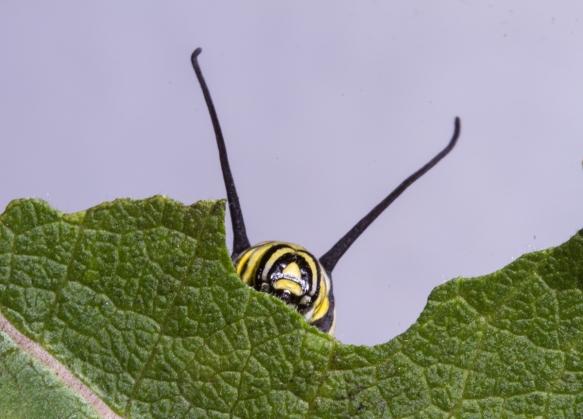 Monarch larva chewing leaf