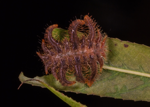 Monkey Slug caterpillar 5