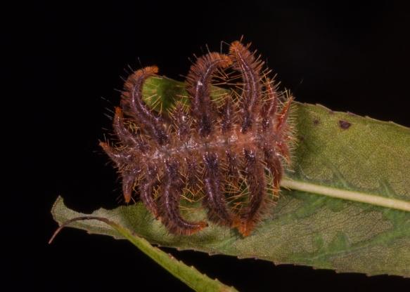 Monkey Slug caterpillar 5