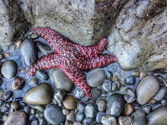 Ochre Sea Star 2