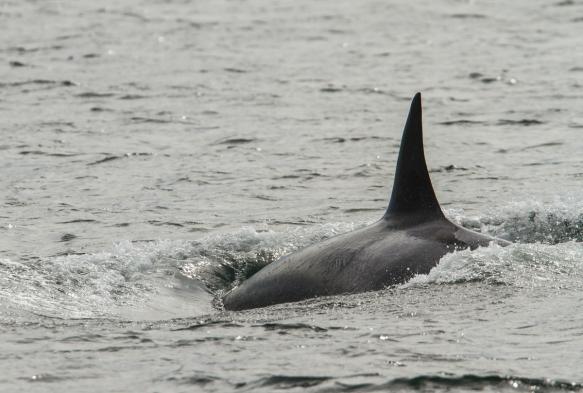 Orca dorsal
