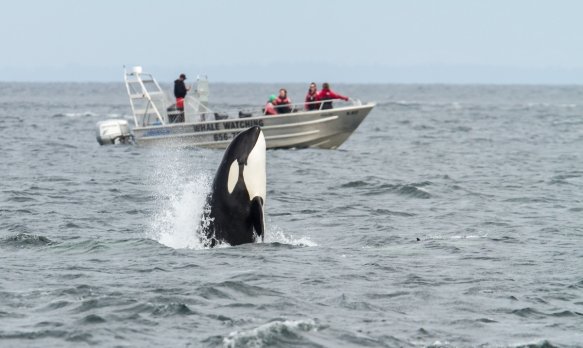 Orca spy hopping