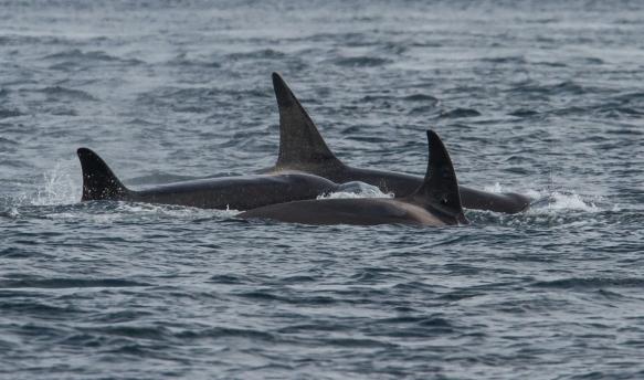 Orcas 3