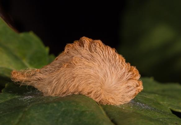 Puss caterpillar 1