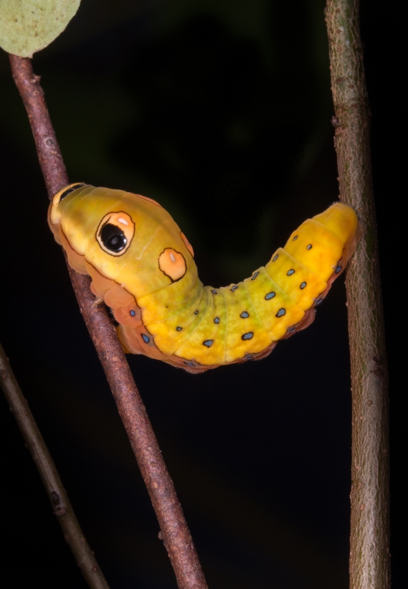 Spicebush Swallowtail nearing pupation