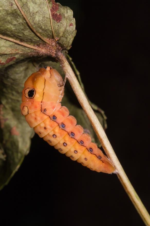 Spicebush Swallowtail prepupa