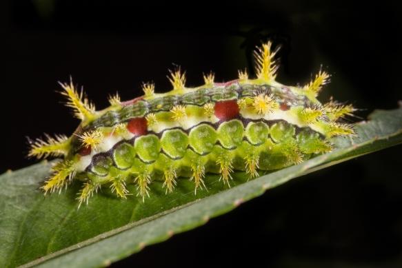 Spiny Oak-Slug 1