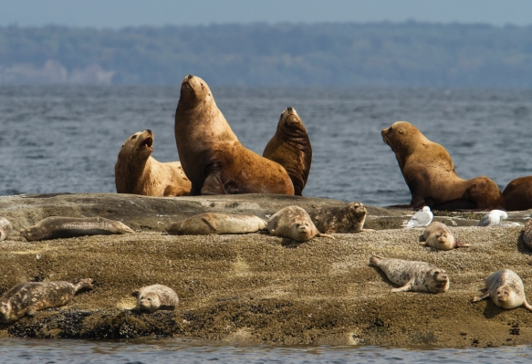 Stellar's Sea Lions and Harbor Seals