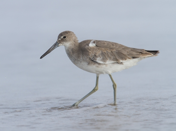 Willet on beach