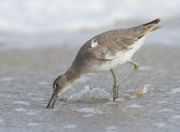 Willet probing 1