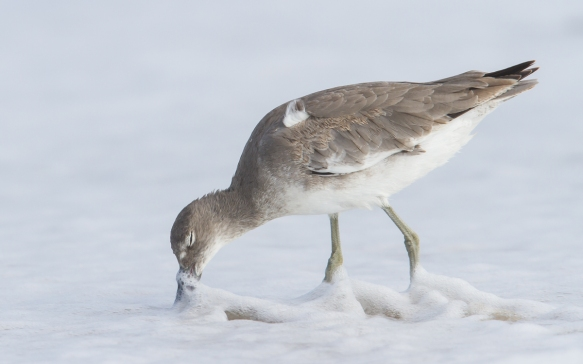 Willet probing