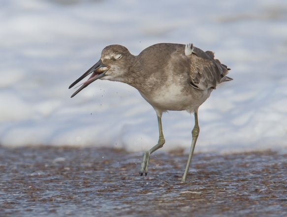 Willet swallowing mole crab 1