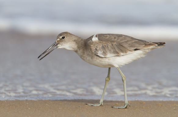 Willet swallowing mole crab