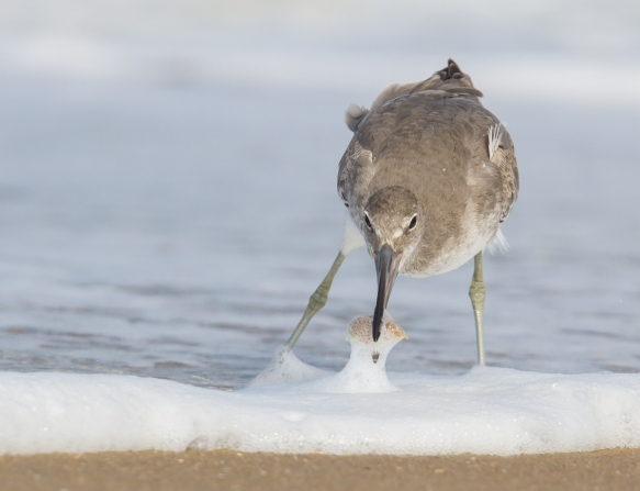 Willet with mole crab 3