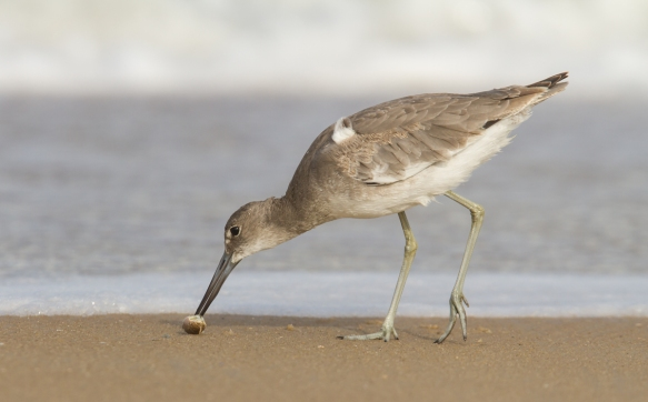 Willet with mole crab on beach 1