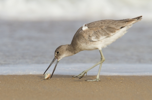Willet with mole crab on beach 2