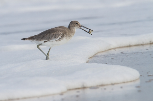 Willet with mole crab