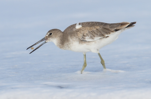 Willet with small mole crab